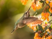 Anna's Hummingbird 3269