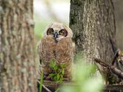 Beautiful Owlet