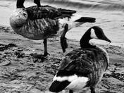 Canada Goose Gambol