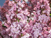 A Great Year for Lilacs