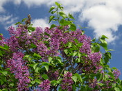 A Good Year for Lilacs