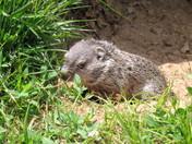 Springtime Baby Groundhog