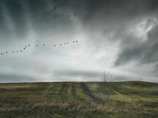 Geese Ahead Of The Storm