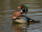 Wood Duck(male)