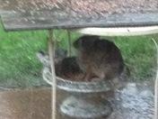 Rabbit hiding from heavy rain