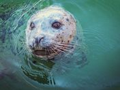 Harbor Seal, up close and personal