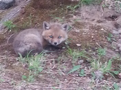FW: fox babies in Milford NH