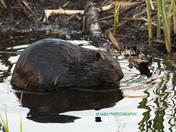 Beaver Chillin