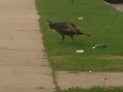 Wild Turkey Sighting!