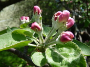 Apple blossom buds