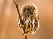 Northern Pygmy OIwl