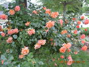 This Year of Heavenly Roses 2015