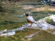 Robin at The Creek