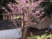 American Red Bud in bloom!