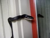 Mating season for snakes