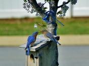Bluebirds sharing mealworm