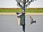 Bluebirds protecting their nesting box