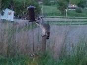 Raccoon pic