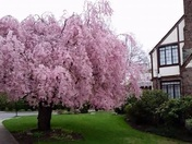 Our Weeping Cherry Tree