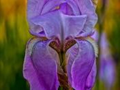RBG Iris