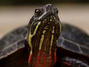 Painted Turtle/Algonquin Prov. Pk. On