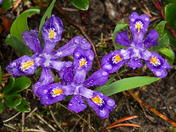 Dwarf Iris/Bruce Peninsula Natl. Pk. On