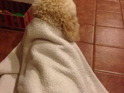 Houston is a golden doodle who knows when a storm is coming before the Super Dop