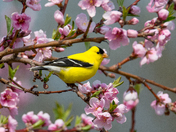 Goldfinch among cherry blossoms
