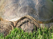 Snapper in the grass