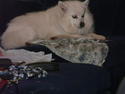 Mr Dule our loveable Japanese Spitz Dog