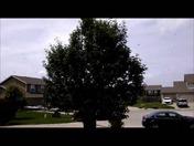 17 Year Cicada's shaken from a tree