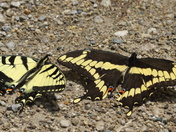 Swallowtail comparison