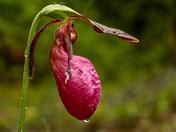 Pink Moccasin/Bruce Peninsula Natl. Pk. On