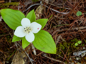 Bunchberry/Dogwood/Bruce Peninsula Natl. Pk.