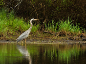 Blue Heron/Fort Stewart On