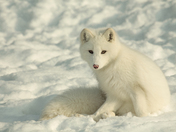 Arctic fox / Renard arctique (Alopex lagopus)