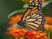 Monarch / Monarque (Danaus plexippus)
