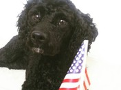 The Independence Dog
