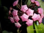 Pink Hoya Pubicalyx Flower