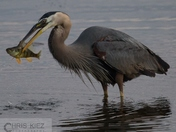 Heron Fishing 1