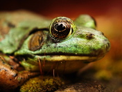 5e. Portrait d'une grenouille
