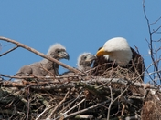 Bald Eagle Mom Feeding Her 3 Week Old Eaglets