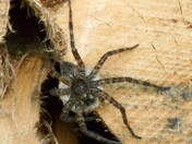 Surpisingly large barn spider in the wood pile