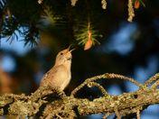 little bird big song