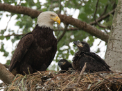 Bald Eagle Mom With 6 Week Old Eaglets