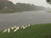 Flock of ibis