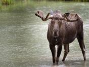 Bullwinkle the Moose