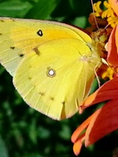 Glorious Butterfly