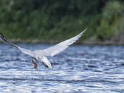 Black Capped Arctic Tern Fishing