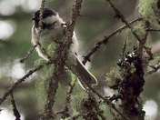 Chickadee early morning